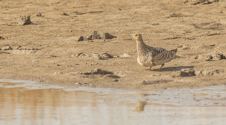 chestnut bellied Sand Grouse , jaisalmer, fossil park
