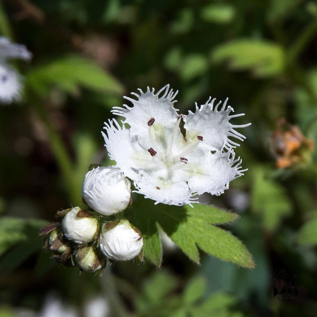 Phacelia fimbriata,Fringed Phacelia,Smokey Mountain Spring Flower