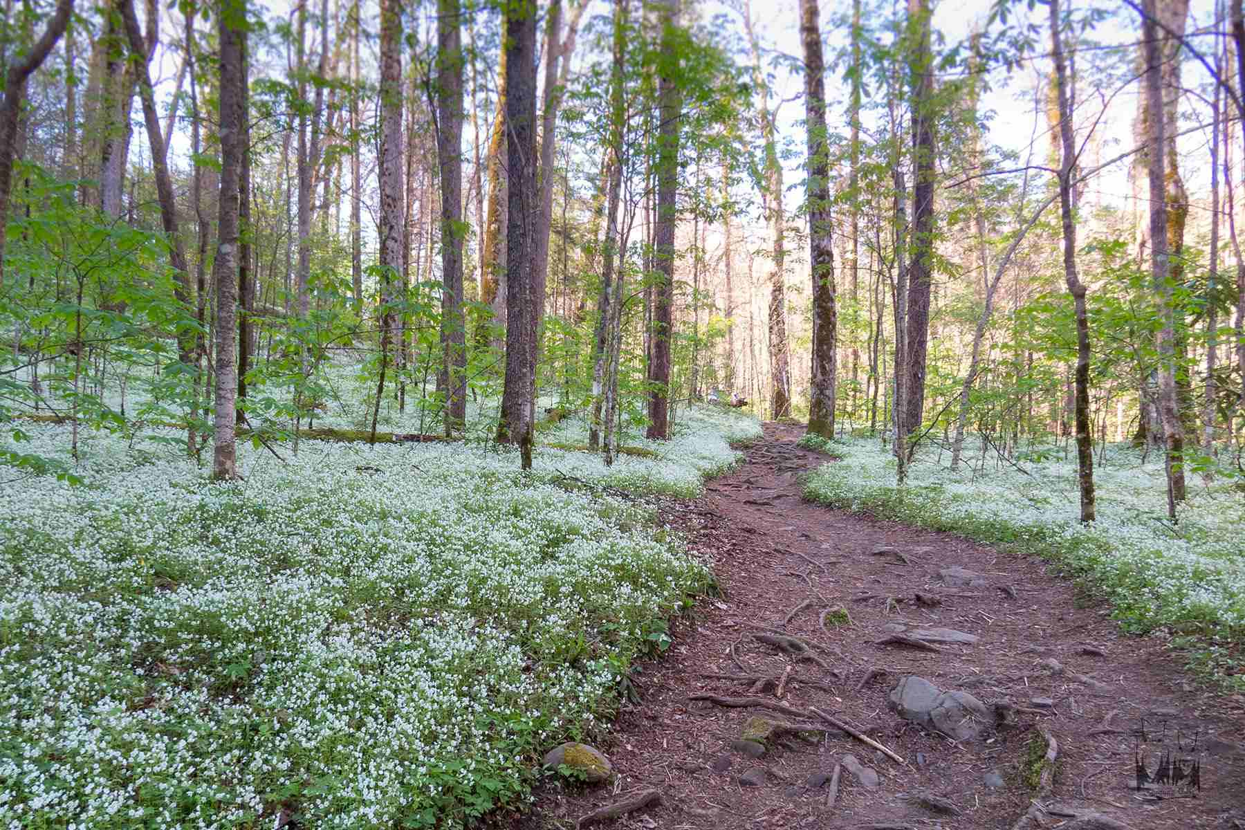 Smokey Mountain National Park in Spring, Fringed Phacelia in bloom