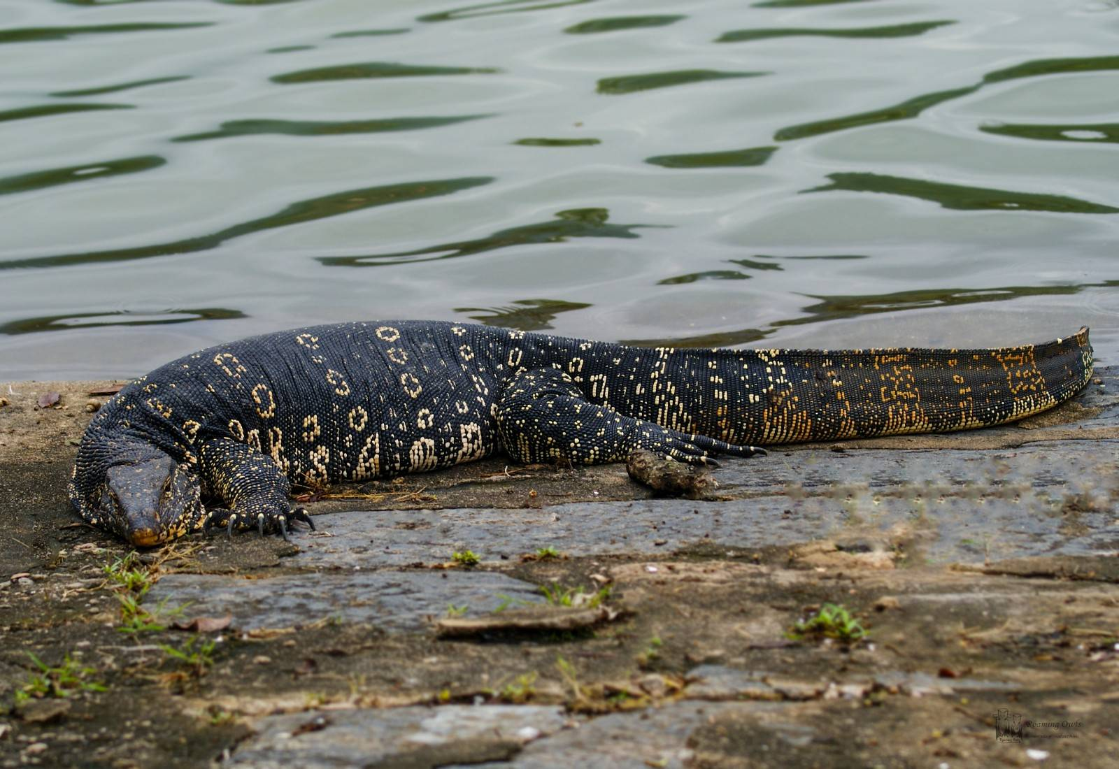Srilanka,kandi,kandi river, காபரகோயா,Asian Water Monitor Lizard, Varanus salvator