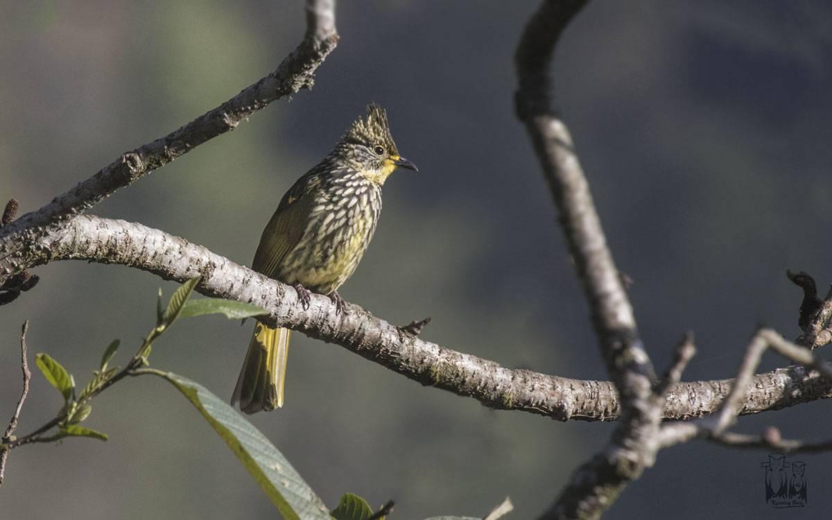 The striated bulbul (Pycnonotus striatus) , neora valley, birding, himalayas