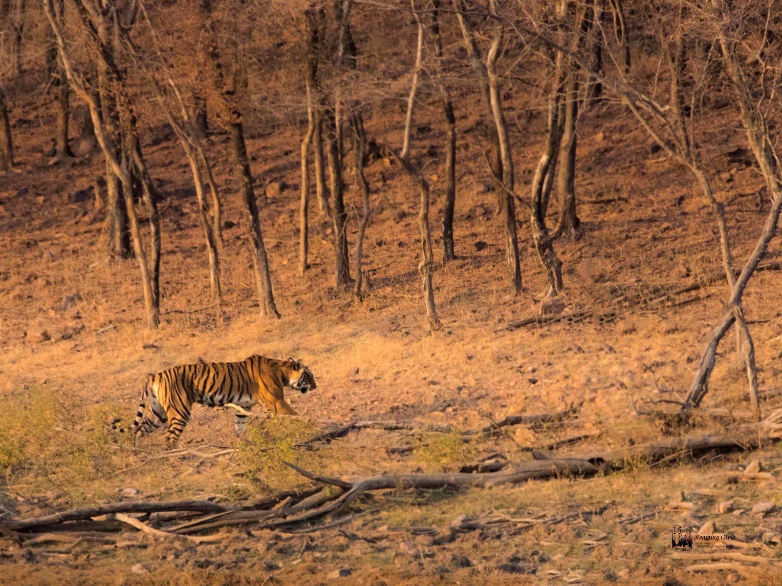 Ranthampore National Park,Indian Tiger Ranthampore,Royal Bengal Tiger