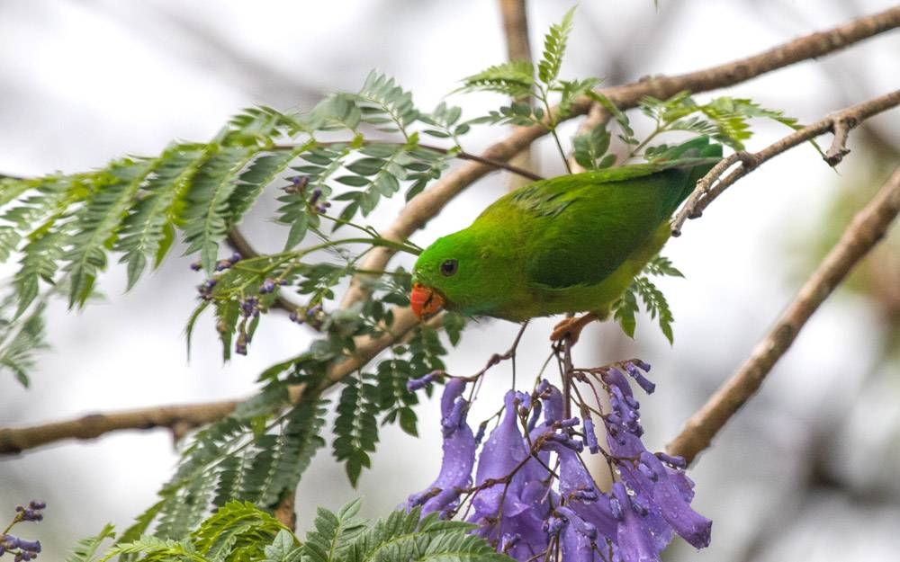 The Jacaranda Tree, vernal hanging parrot, chinnakallar